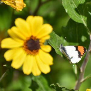 A Sara Orangetip butterfly with a yellow flower